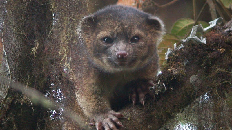 Newly-discovered mammal is 'mix of house cat and a teddy bear'