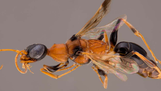 Zombie Cockroaches Are Real, and This Wasp Controls Them