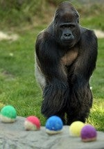 Zoo Gorillas Will Totally Cut You