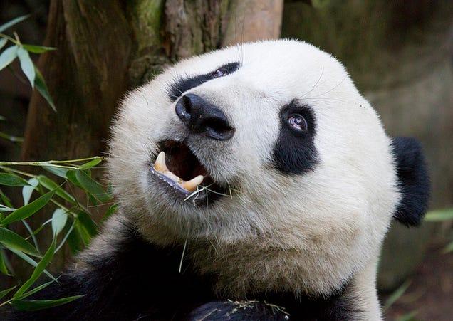 Meet The Parasitic Worm That's Killing Giant Pandas