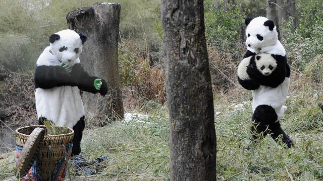 One Of These Pandas Is Not Like The Others