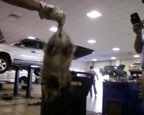 Audi A4 Burps Up Opossum