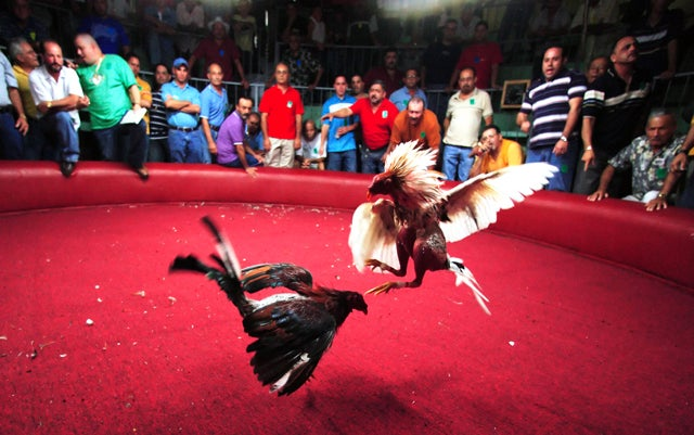 Legal Loopholes Help Cockfighting Thrive in Texas