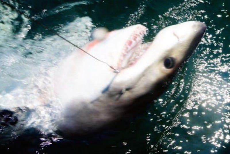 Fishermen Catch Great White Shark off Coast of Queens