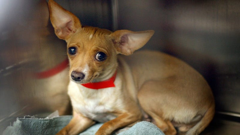 Two Hundred Chihuahuas Seized from Pennsylvania Home