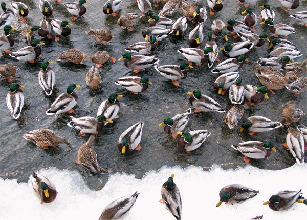 Russians Do Not Have All Their Ducks In A Row