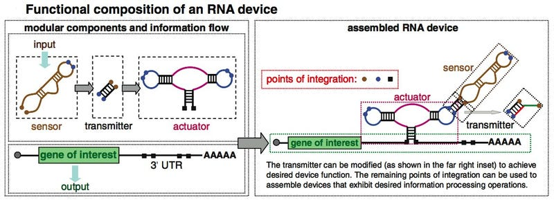 Engineer Your Body Functions with Programmable RNA