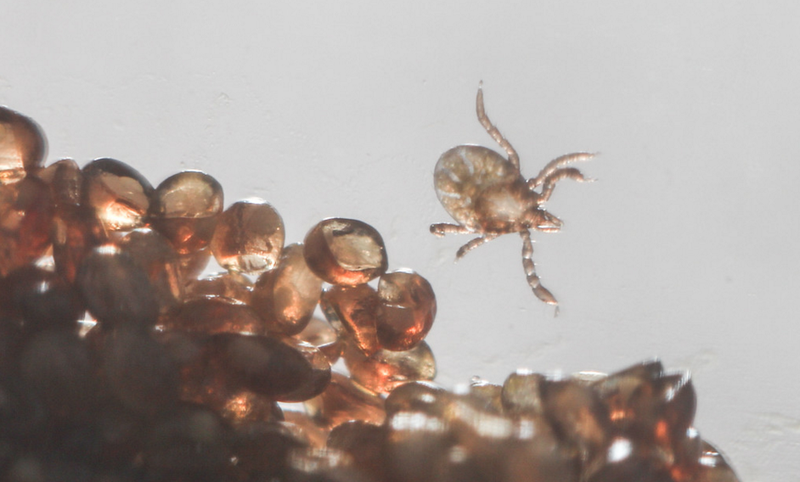 Bloodthirsty Ticks Have a Seriously Weird Genome
