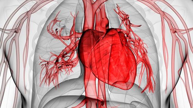 Por qué el corazón no se cansa igual que otros músculos?