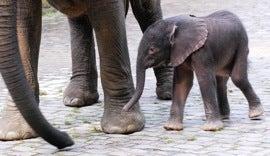 """Baby Elephant Named """"Barack"""""""