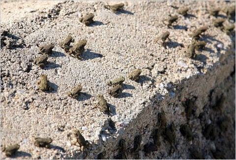 Swarms Of Frogs Shut Down Greek Highway
