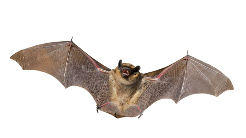 Holy Memorandum! The Secret to Bats' Super-Efficient Flight Could Help Make Better Military Drones