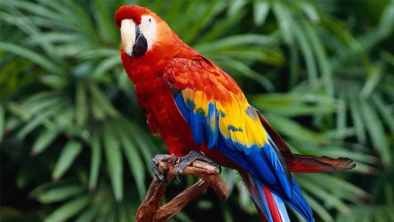 Parrots hold the evolutionary secret of why we're left-handed or right-handed