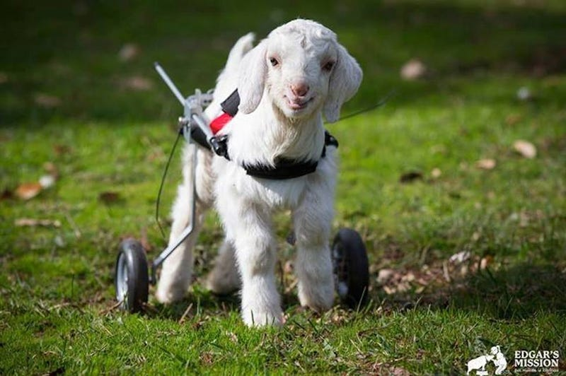 Goodnight, Frostie the Wheelchair Snow Goat