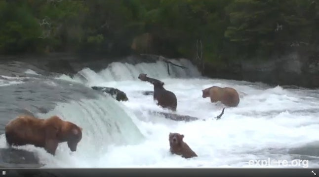 Is the Brown Bear and Salmon Live Cam the Greatest Time-Waster of All Time?