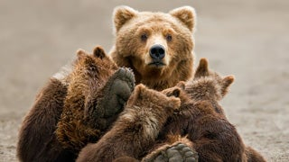 Man Killed By Grizzly Bear at Yellowstone