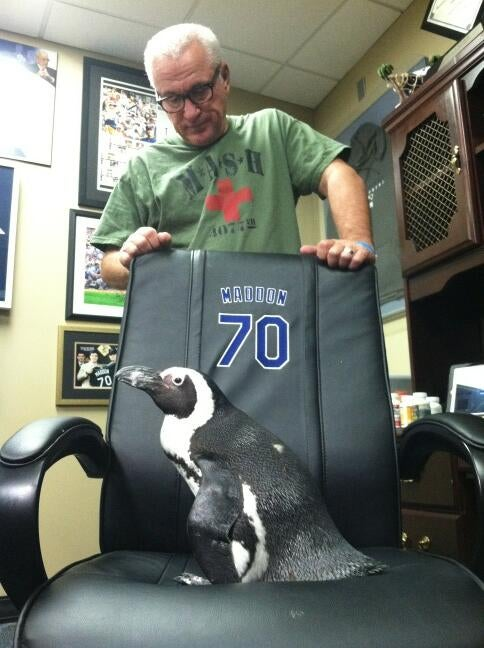 Here's A Penguin Sitting In Rays Manager Joe Maddon's Chair