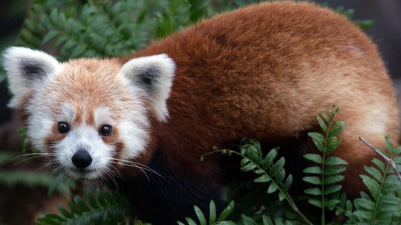 EMERGENCY ALERT: Very Adorable Red Panda Missing From National Zoo