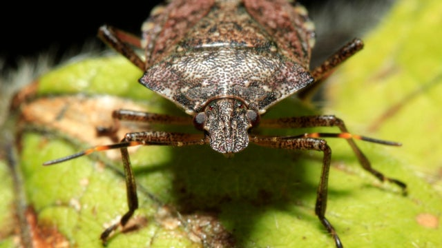 Get Ready for the Stink Bug Plague!