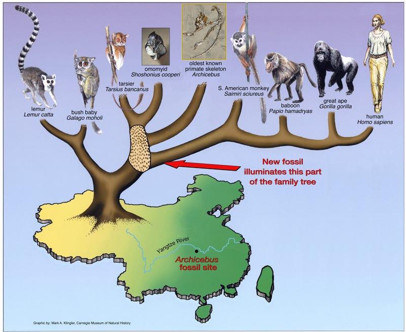 Paleontologists have discovered the oldest complete primate skeleton