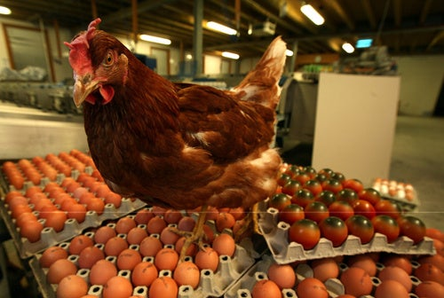 Criminal Charges Possible In Salmonella Egg Investigation