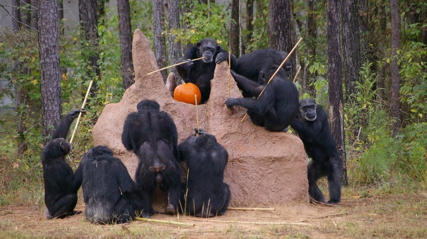 Over a hundred research chimps are set to be rescued and moved to a sanctuary