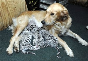 Big Cats & Dogs