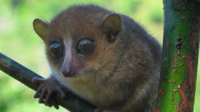 The world's newest primate species has lovely eyes