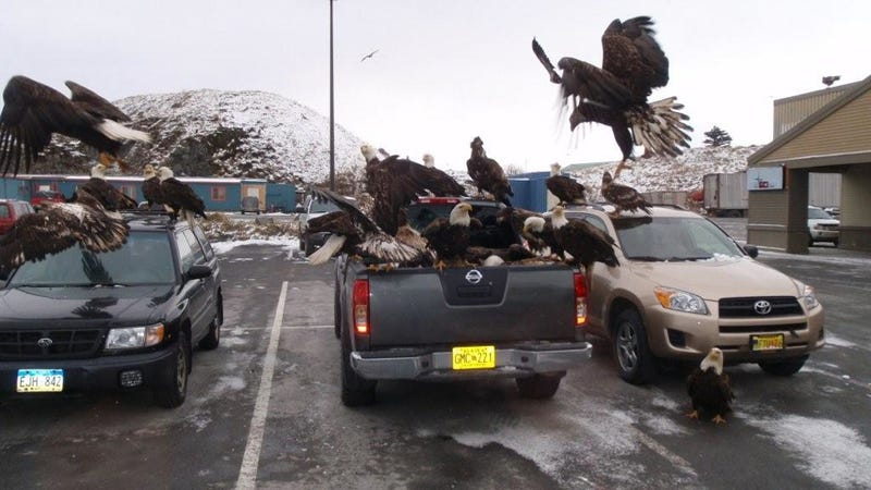 Flock Of America-Loving Eagles Mob Some Japanese Cars In A Parking Lot