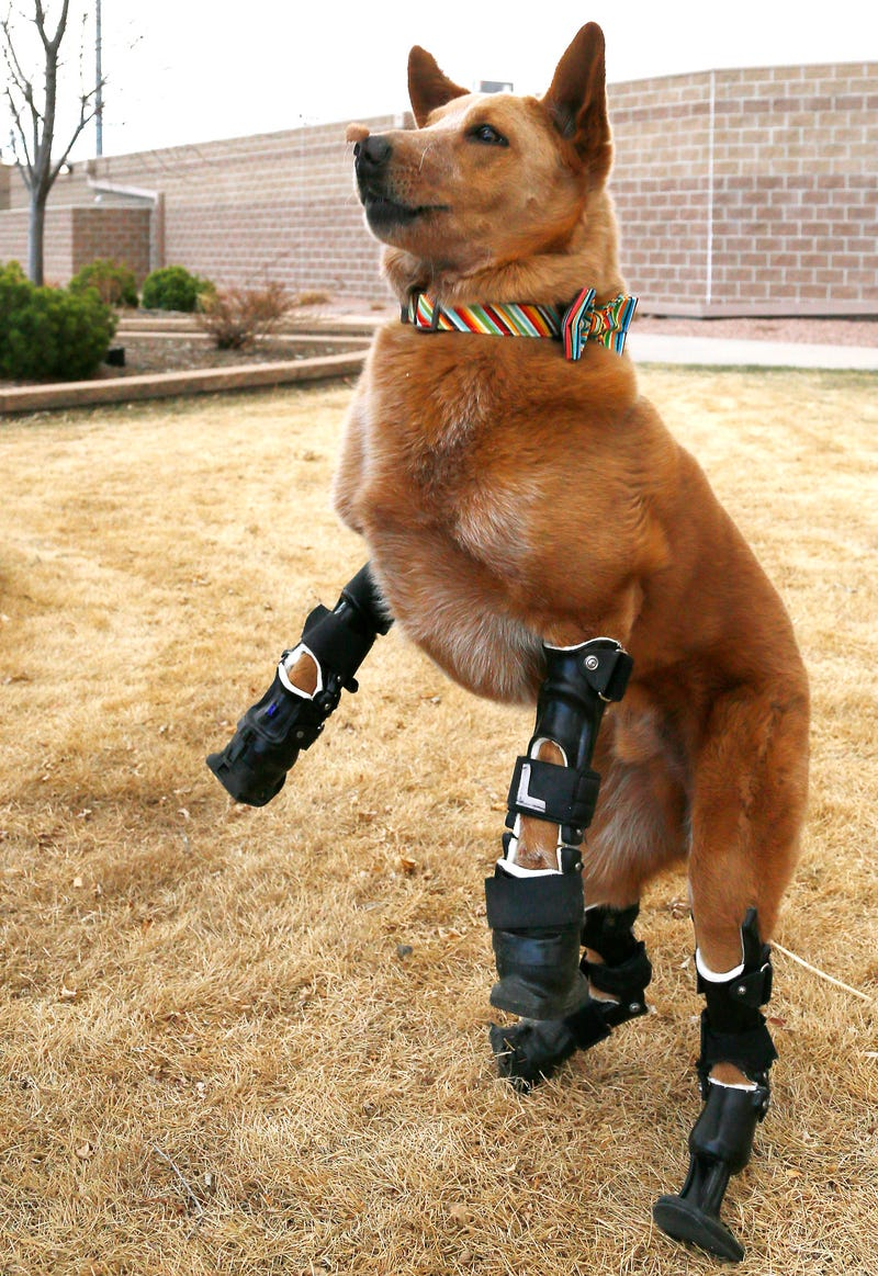 This dog has four prosthetic legs and oh my god my heart just imploded