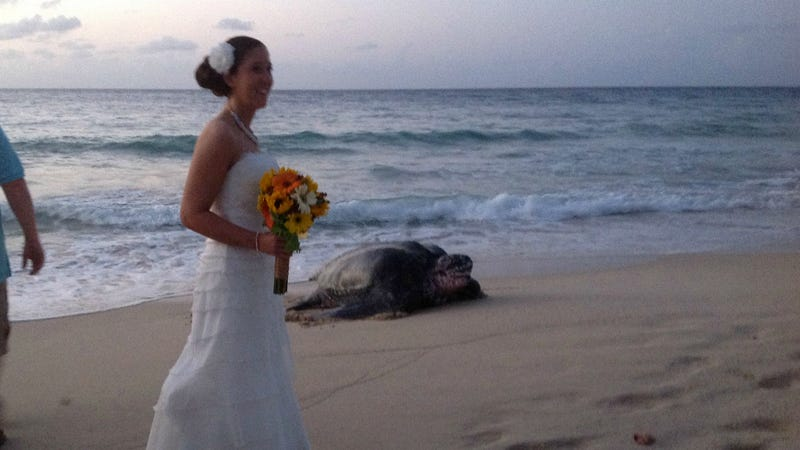World's Biggest Sea Turtle Crashes Beach Wedding to Lay Eggs