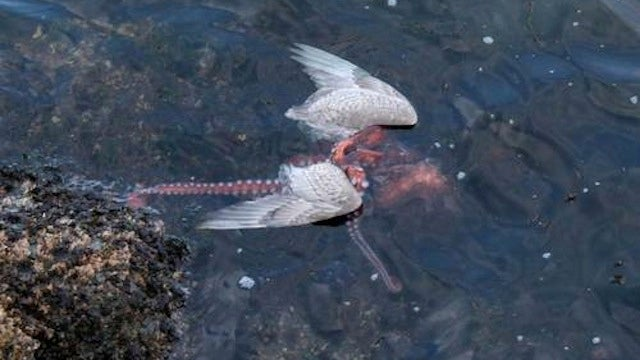 Fascinating photos of an octopus eating a seagull