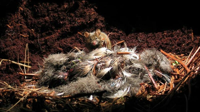 Rodents of Unusual Size are decimating endangered bird populations