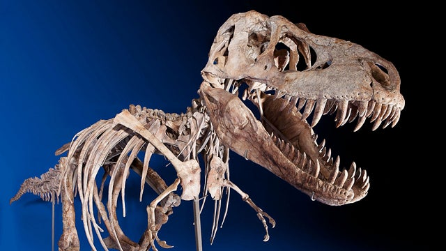 The Curious Case of the Million Dollar Tyrannosaurus Skeleton That's Been Seized by Homeland Security