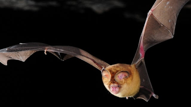 Could some of humanity's deadliest viruses have come from eating bats?