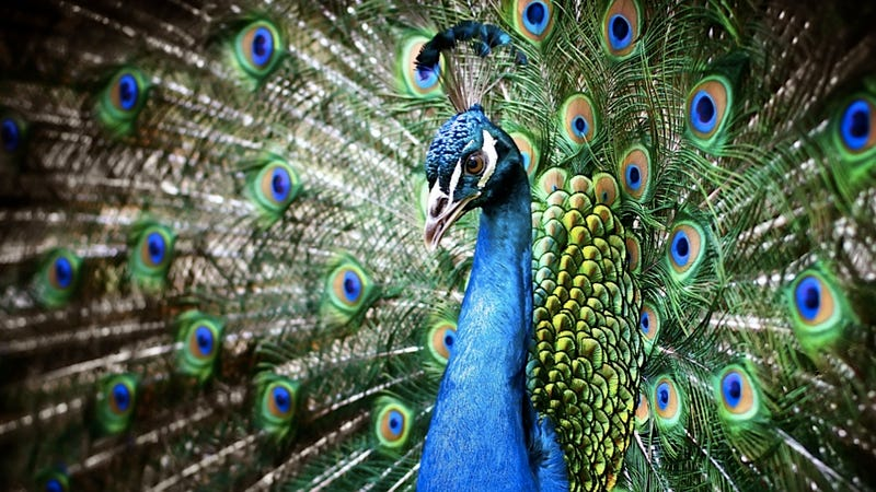 Dinosaurs Probably Shook Their Tail Feathers Like Peacocks When They Were Feeling Sexy