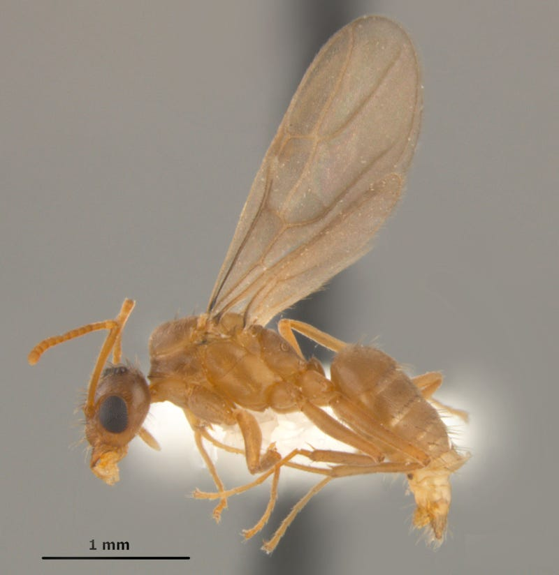 """Southern United States Invaded by """"Hairy, Crazy Ants"""" that Attack Electrical Systems"""