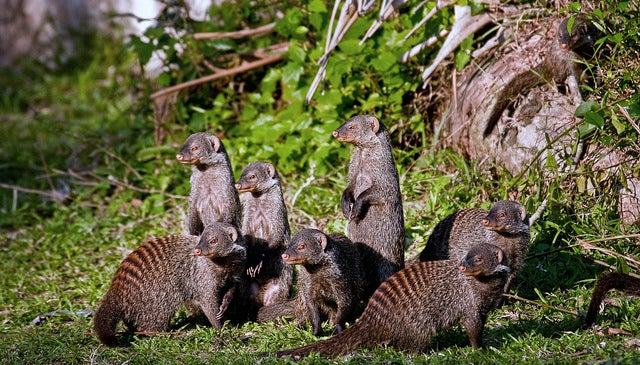 The Law That Forces Mongooses to Give Birth on the Same Day... Or Else