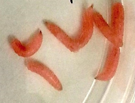 Genetically-Modified Maggots Could Help Wounds Heal Faster