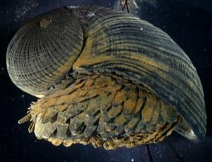 Next Stab Proof Vests Could Be Inspired By Ocean Snails' Shells