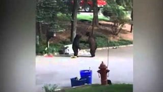 Some Bears Wrestled Over Some Garbage