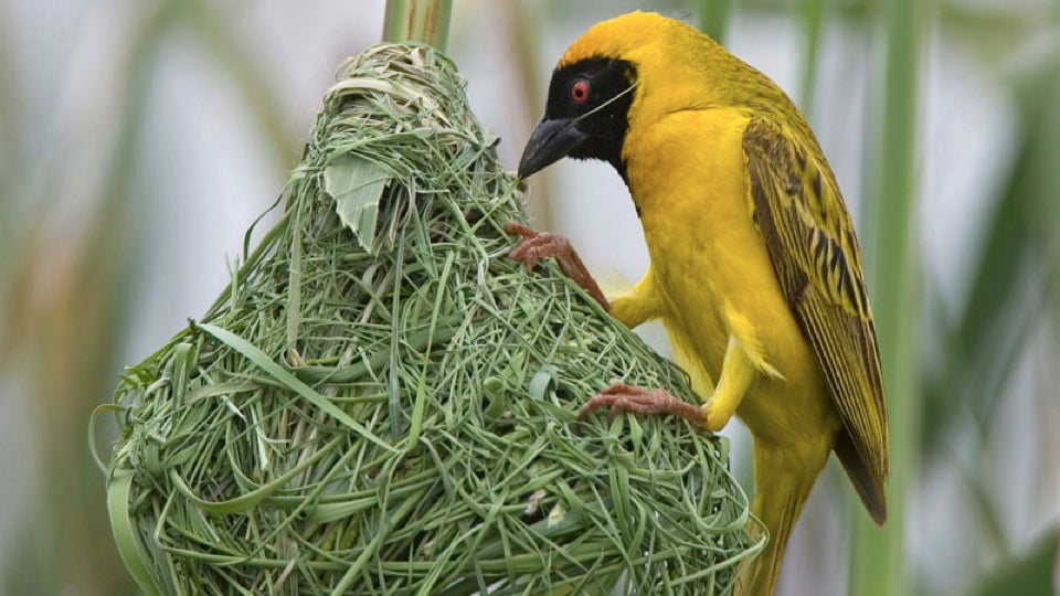 New study says birds learn how to build nests - BBC News