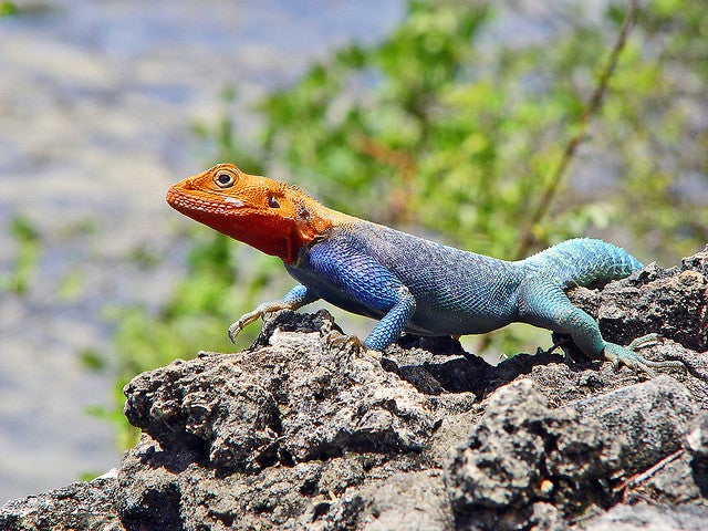 Meet The Lizard That Looks Just Like Spiderman