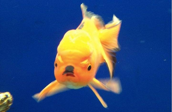 This Fish Looks Like Adolf Hitler