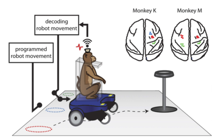 This Robotic Wheelchair is Being Controlled By a Monkey's Brain