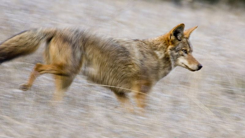​How To Keep Your Pets Safe From Coyotes