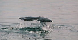 Lost Gray Whale Swims to Israel