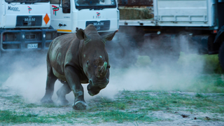 Largest-Ever Rhino Airlift Recently Released First 10 Rhinos In Botswana