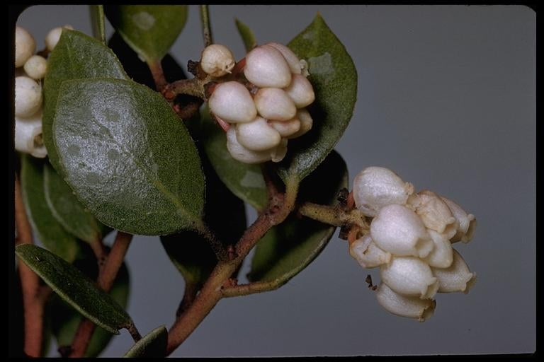 The Franciscan manzanita is the last known member of its species