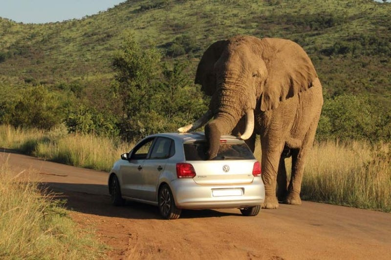 Elephant Falls In Love With a VW Polo